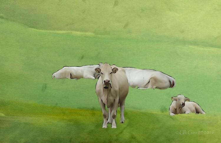 0167a 15.07.16 weisse kühe